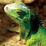 iguana verde de roatan